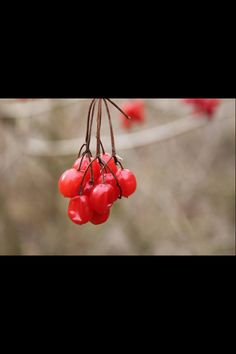 Red winter Berry's