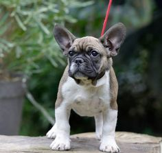 For sale: French Bulldog - Male /  Oliver
