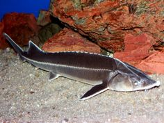 The sterlet is a relatively small species of sturgeon from Eurasia native to large rivers that flow into the Black Sea, Azov Sea, and Caspian Sea, as well as rivers in Siberia as far east as Yenisei. Neon Tetra, Plecostomus, Nano Aquarium, Freshwater Aquarium Fish, Cichlids, Catfish, Livestock, Farm Life, Farm Animals