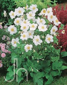 Anemone japonica -Honorine Jobert Anemone Need to see in the fall when it flowers what variety it is. September Charm is a pink, single flower Queen Charlotte is a pink, double flower Honorine Jobert is a white, single flower Whirlwind is a white, double flower