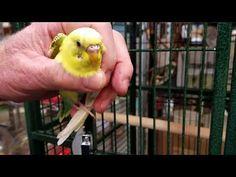 A Better Bird Ep 12 The Western Ave Budgie Rescue Caper Monk Parakeet, Parakeets, Parrot, Bird, Parrot Bird, Parakeet, Birds, Parrots