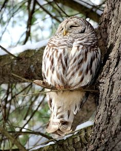 Thanks Giving Owl by Joanne delabruere on Capture My Vermont // We are not the only ones feeling sleepy after a Thanks giving meal..