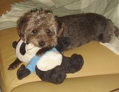 Esta é a Iole, cadelinha da Tatiana Gazatto.