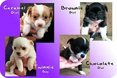 Surrey, BC - Dachshund/Chihuahua Mix. Meet PUPPIES, a puppy for adoption. http://www.adoptapet.com/pet/12832320-surrey-british-columbia-dachshund-mix