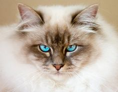 Birman death stare, by ~amigaboi via deviantART.com