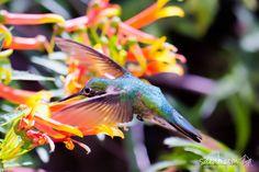 Broad-billed Hummingbird (Cynanthus latirostris)  The broad-billed hummingbird (like most hummingbirds) consumes over 1.5 times its body weight in nectar each day.  Arizona-Senora Desert Museum, Tucson, AZ, USA  http://www.saeah.com/Birds-Wildlife/i-3pcVmK9/A