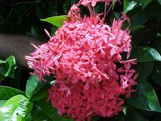 Ixora – Nora Grant (Ixora coccinia) Florida Lanai, Naples Florida, South Florida, Most Beautiful Flowers, Outdoor Plants, Trees To Plant, Shrubs, Planting Flowers, Seasons