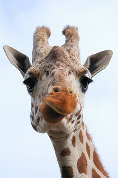 Giraffe... what are you thinking dear? <3 Another visit to the dentist? Oops Sorry! You don't like dentists?