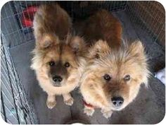 Pictures of Cassie & Andrea a Chow Chow Mix for adoption in Marina del Rey, CA who needs a loving home.