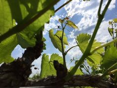 Young grapes vines- Early Spring- 2016
