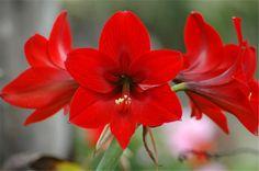Amaryllis - 15 Flowers in Season in December for Wedding - EverAfterGuide
