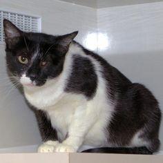 2/15/17, Marti * Cat • Tuxedo • Adult • Female • Medium  Paws Patrol Green Valley, AZ