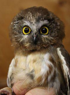 сова, owl, фотография