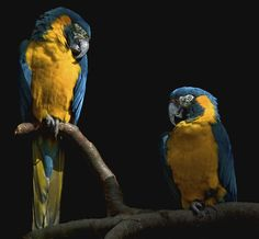 The Blue-throated Macaw (Ara glaucogularis; previously Ara caninde) is a macaw endemic to a small area of north-central Bolivia known as Los Llanos de Moxos. Recent population and range estimates suggests that about 250–300 individuals remain in the wild. The main causes of their demise is capture for the pet trade and land clearance on cattle ranches. It is currently considered critically endangered and the parrot is protected by trading prohibitions.
