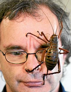 Weta..A new zealand insect that is remarkably large and also has a rather nasty bite to go with it. Not poisonous though..........isn't it just the grossest thing you have ever seen!!!!!!!