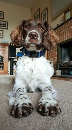 Dog Grooming Tips .Dog Grooming Tips Cute Dogs And Puppies, I Love Dogs, Doggies, Beautiful Dogs, Animals Beautiful, Englisch Springer Spaniel, Chien Springer, Big Dog Toys, Baby Animals