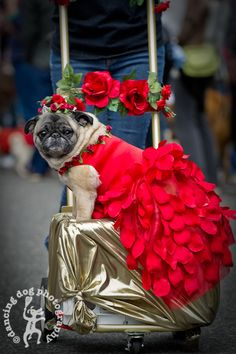 Haha Ida...if she ever flies again...would def be getting the royal treatment like this pug!