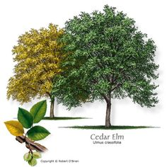 Cedar elm  Cedar elm  Comments:Upright form; adapted to rocky soils; can withstand heavy, poorly drained clay soils and soils that are moderately compacted; susceptible to powdery mildew