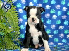 Nitro – Boston Terrier Puppy www.keystonepuppies.com  #keystonepuppies  #bostonterrier