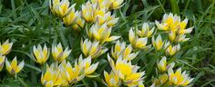 Tulip Bulbs | Tarda | For Sale