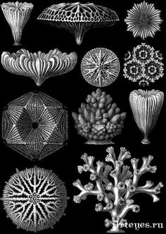 Lines Shading Realism Ernst Haeckel Art, Natural Form Art, Illustration Photo, Nature Drawing, Patterns In Nature, Gravure, Medusa, Sacred Geometry, Natural History