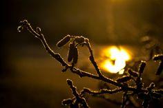 Frozen catkins Bergen, Norway, Nature Photography, Frozen, Winter, Winter Time, Wildlife Photography, Winter Fashion