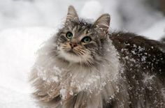 The Norwegian Forest Cat is a breed of domestic cat native to Northern Europe, and adapted to a very cold climate, with top coat of glossy, long, water-shedding hairs, and a woolly undercoat for insulation. -wikipedia
