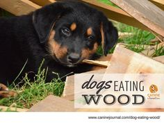 Dogs chew on wood because they like chewing on things. But a dog eating wood is not the best idea. Learn tips on how to help them break this habit. Stop Dog Chewing, Stop Dog Barking, Puppies And Kitties, Pet Dogs, Doggies, Pets, Wet Dog Food, Wood Dog, Dog Chews