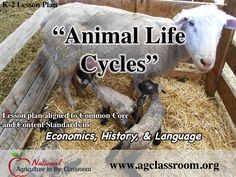 Learn all about livestock animals. What terms are used for a mother, father, and offspring? How do animals help people? Full lesson plan, suggested books, and free flashcards.