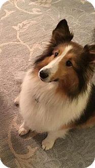 Little Rock, AR - Sheltie, Shetland Sheepdog. Meet Gracie-Lou, a dog for adoption. http://www.adoptapet.com/pet/17190507-little-rock-arkansas-sheltie-shetland-sheepdog