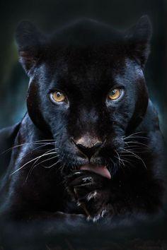 "chasingrainbowsforever: ""Black Panther by Olga Shiropaeva """