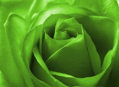 Lime Green Color Rose
