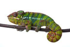 www.petclic.es la mayor tienda online de productos para #mascotas. La mayor biblioteca de contenido y consejos sobre mascotas. 1.000 consejos. 50.000 imagenes. Foto de #animales #reptiles #camaleon