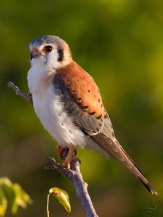 American Kestrel by Michel Bordeleau on 500px