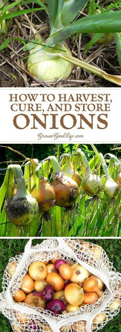 Harvesting Curing and Storing Onions Learn when to harvest and how to cure storing onions to provide delicious flavor to winter soups bone broths chili stews and roasts. The post Harvesting Curing and Storing Onions appeared first on Garden Ideas. Home Vegetable Garden, Fruit Garden, Edible Garden, Veggie Gardens, Garden Plants, House Plants, Fence Plants, Potager Garden, Garden Art
