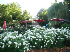 Stonehaven boasts over 1000 rose bushes and is the biggest garden alfresco restaurant in South Africa located on the Vaal River Big Garden, Rose Bush, Acre, South Africa, Restaurant, River, Plants, Diner Restaurant, Plant