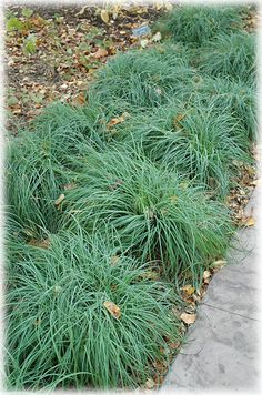 Carex 'Blue Zinger' (12?), fall 2011, from Stonepost. Great evergreen blue fescue-like sedge for shade.