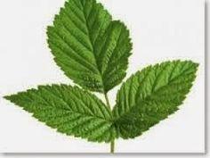 Apothecary Greens DIY: red raspberry leaf facial toner