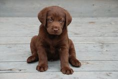 chocolate lab..my fave