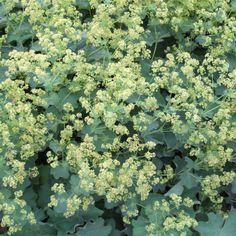 alchemilla-mollis-ladys-mantle-d33382b3 Dried Flower Arrangements, Dried Flowers, Alchemilla Mollis, Bush Garden, Soul Collage, Water Droplets, Yellow Flowers, Garden Inspiration, Mantle