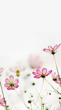 Remember us should you want to send flowers to India. Most folks agree that flowers are among the most gorgeous things found in nature. Chrysanthemum flowers are really appreciated ones because not… Cosmos Flowers, My Flower, Pretty In Pink, Pink Flowers, Beautiful Flowers, Nature Rose, Flowers Nature, Flower Wallpaper, Mother Nature