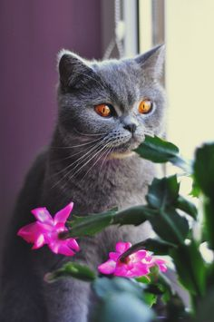 British Shorthair Cat from Pixabay - 1887413 - Beautiful blue cat with brown eyes with Christmas cactus
