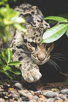 Focused Leopard (Colin Langford)