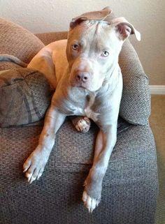 Pitbull Puppies For Sale Indiana Coyote Pitbulls Animals