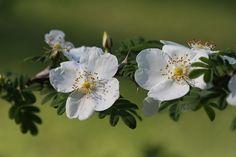 Rosa sericea forma pteracantha - Flügelstachelige Seidenrose - Wingthorn Rose   by steffi's