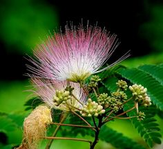 Mimosa Tree (Albizia julibrissin) foliage and flower. Please view LARGE HERE or by clicking the photo Peach Flowers, Exotic Flowers, Tropical Flowers, Wild Flowers, Beautiful Flowers, Family Of The Year, Albizia Julibrissin, Rare Orchids, Garden Nursery