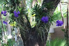 orchid trees - Google 検索