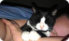 Morrisville, PA - Domestic Shorthair. Meet Tux, a cat for adoption. http://www.adoptapet.com/pet/14356641-morrisville-pennsylvania-cat