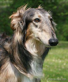 Silken Windhound.