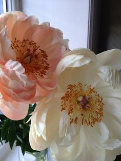 more peonies gradually fading to cream...beautiful
